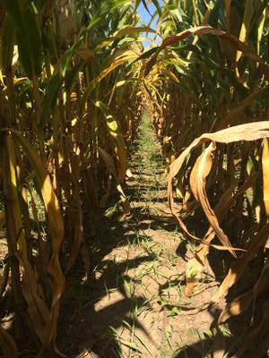 It's time to test corn silage for moisture content.