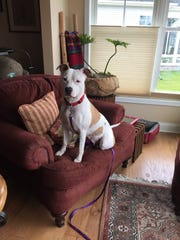 Wendy, a recently adopted pit bull from the new Delaware Humane Association in Rehoboth Beach, sits in her new owner's home.