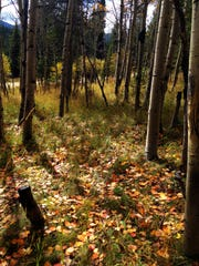 Fallen leaves dot the forest in the Hyalite Canyon near Bozeman