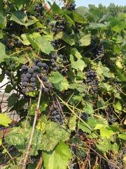 Barbara McFarlane's grapes