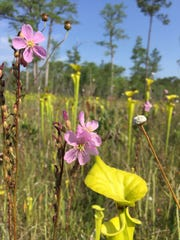 Carnivorous plant bog in the Apalachicola National
