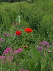 Red poppies like these suddenly began growing on some
