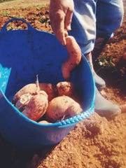 Ugly sweet potatoes get a bad rap and can sometimes end up in landfills. Now Second Harvest is rescuing them to help feed the hungry in Nashville.