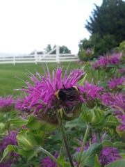 Monarda (beebalm) species are annual and perennial