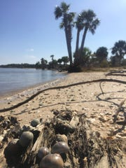 The 12,300 acre St. Vincent Island is part of the St. Vincent National Wildlife Refuge, 80 miles from Tallahassee.