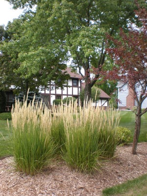 Ornamental grasses, like these shown here, can fill in a hedge until other plants grow in.
