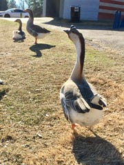 A one-legged goose from the East Kings Highway duck pond in Shreveport was in danger of losing its second leg after being caught in fishing line. Wildlife rehabilitators rescued the animal.
