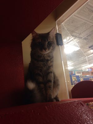 A cat peeks out of the viewing area at PetSmart.