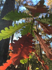 Swamp chestnut oak trees provide fall color and food