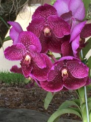 Joan Cromer photographed this bright orchid at the Martin Downs Country Club in Palm City while she was out taking a walk.