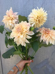 Summer at Carolina Flowers brings giant dahlias, such as this Cafe au Lait variety.