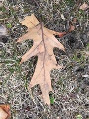 636590526679902993-oak-leaf.jpg