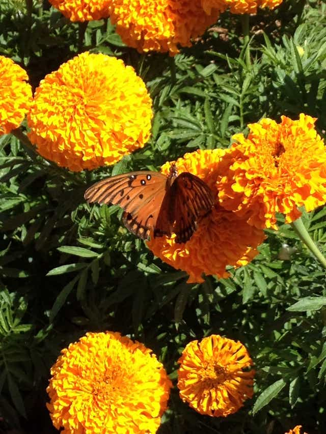 Marigolds And Mint Among Plants That Can Ward Off Mosquitoes