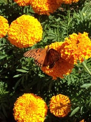 Marigolds contain a natural compound used in many insect