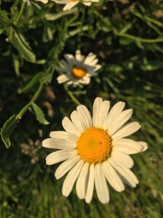 636637788287187516-daisy.jpg
