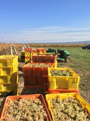 Totes are filled with Riesling grapes at Shaw Vineyard