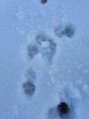 One of several sets of footprints left by Duke in a field near Townline Road where neighbors reported seeing him.