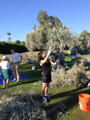 Karen DeBene of Palm Desert checks a tree branch for olives.