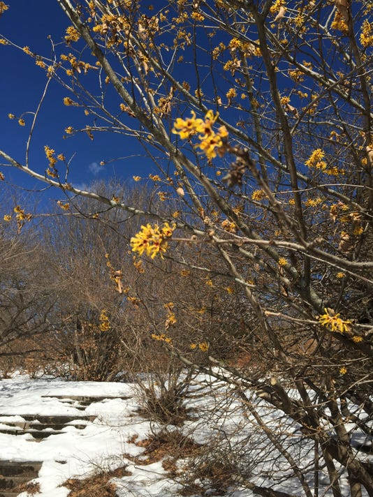 Witch hazel, Highland Park.JPG