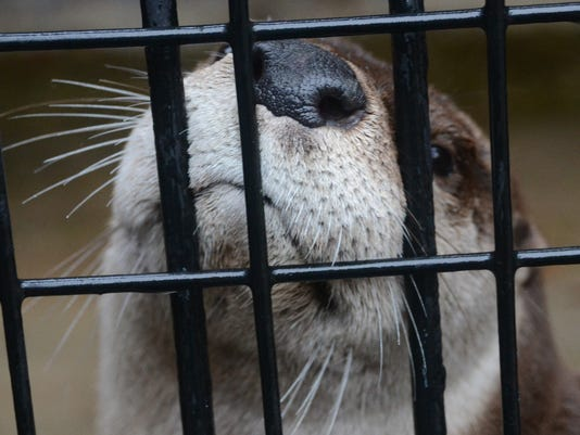 ANI Alexandria Zoo animal Mack the otter who is in quarantine right now will soon make his appearance to the general public at the Alexandria Zoo. Friday, Dec. 19, 2014.-Melinda Martinez/mmartinez@thetowntalk.com The Town Talk, Gannett
