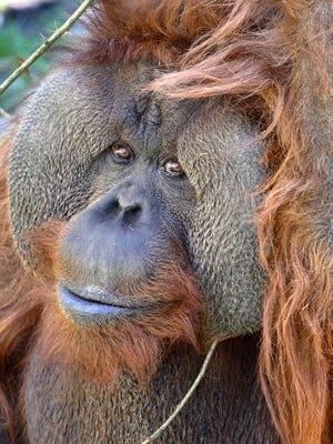 Towan the orangutan.