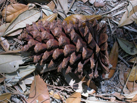 The pine cones of slash pine are reddish-brown and