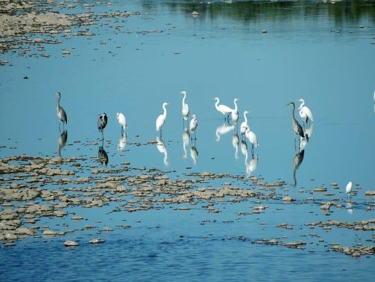 Herons and egrets at Estrella Mountain Regional Park