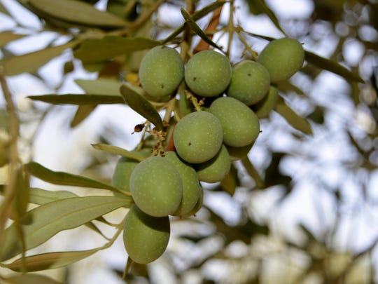 Olives growing in a grove north of Ivanhoe.