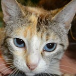 Lilia, calico tabby Siamese mix, small, spayed, 1 1/2, can be a little shy at first, welcomes kindness and gentleness. At shelter or PetCo on Youree Drive, call (318) 524-0540 to check.