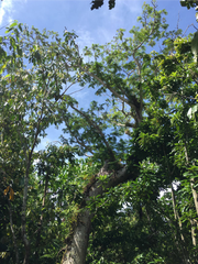 The last remaining parent tree of the Serianthes nelsonii species on Guam stands at about 25 feet tall.