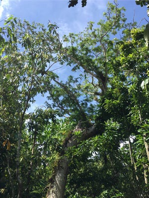 The last remaining parent tree of the Serianthes nelsonii species, or Håyun lågu, on Guam stands at about 25 feet tall.
