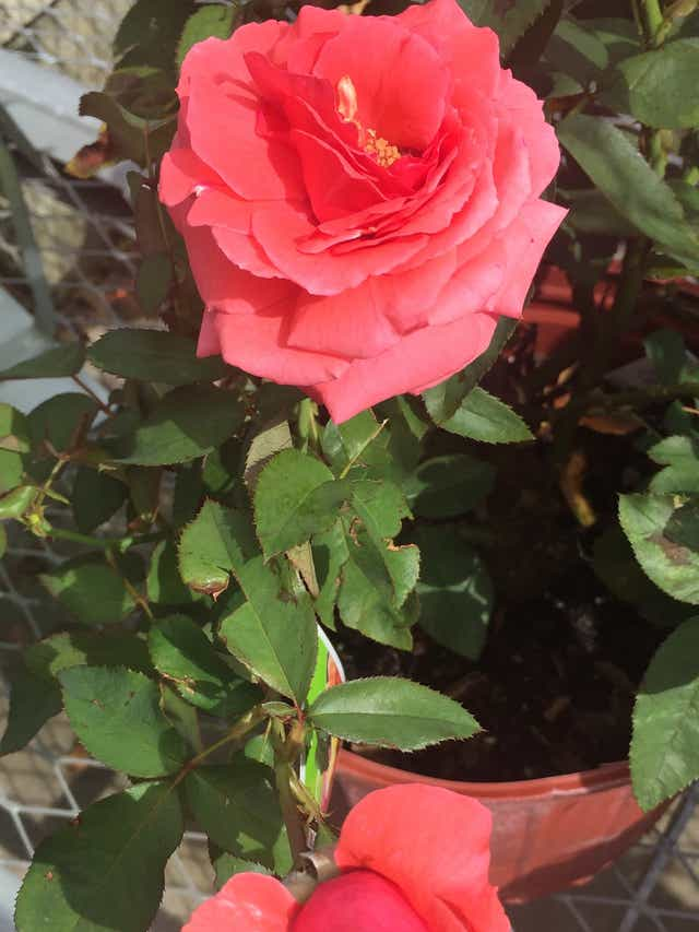 Roses Can Grow In Sw Florida But It S Not Easy