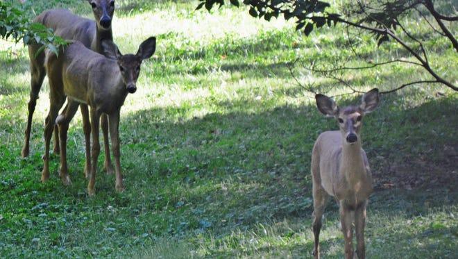 Deer in the Cherokee Triangle area near Cherokee Park.