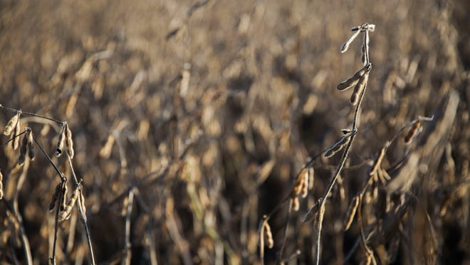 Soybeans are ready to harvest on a farm outside of Maxwell, on Tuesday, Oct. 17, 2017.