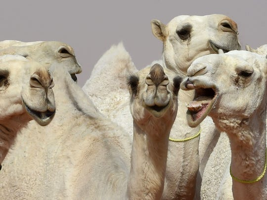 Camels are seen during a beauty contest.
