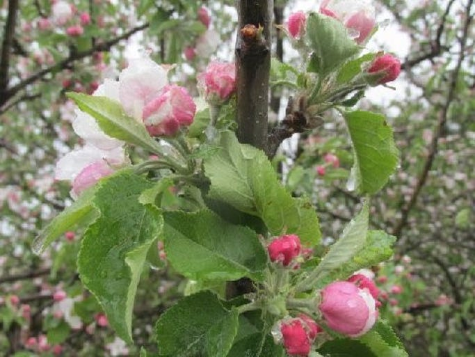 Apple blossoms add fragrance to the air around Lincoln
