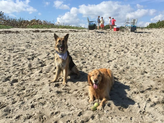 Colette and Bob Judge, of Nettles Island, have been taking Honey, their 41/2-year-old golden retriever (right, resting next to her friend, Jazz), to popular Walton Rocks Beach since she was a puppy. Indian River Shores in Indian River County is considering amending its leash law to allow dogs to run free on its beaches, at least during certain times of the day.