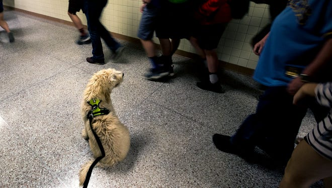 Henry, a therapy dog at Ben Franklin Junior High School, greets students as they head to class, in Stevens Point, Wis., May 25, 2018.