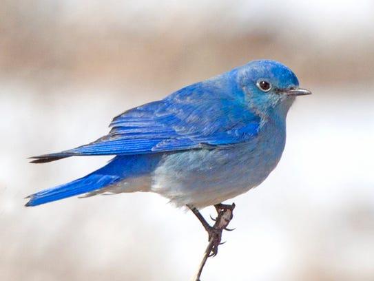 Mountain Bluebird7_William Hopson_CA_2012_high.jpg