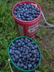 Buckets full of freshly picked berries sit waiting