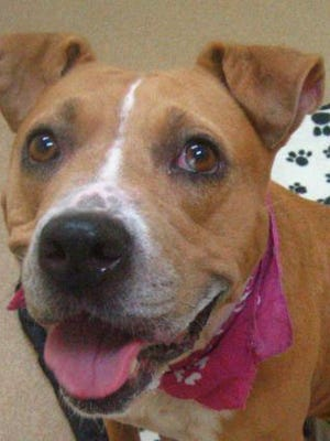 Mercedes is a sweet, wiggly, energetic 5-year-old American pit bull terrier mix. She always seems to have a smile on her face! She would love to find an active family to call her very own.