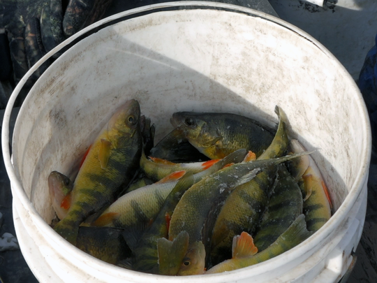 Bernard Johnson's bucket of perch awaits its next occupant. Johnson sells the perch for $1.50 for anything over 8 inches, or 75 cents for the smaller ones.