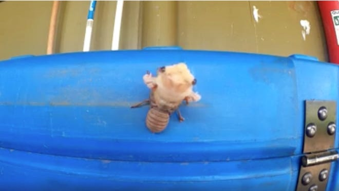 A screen-grab from Facebook user Mark Anderson's time-lapse of a cicada.
