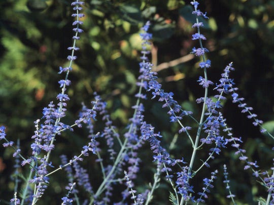 Russian sage, Perovskia atriplicifolia, is a great all-around, flowering perennial shrub.