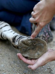 The zebra hooves are treated during a physical before
