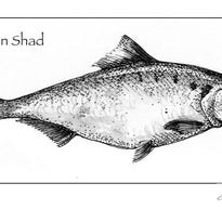 Drawing of an American shad