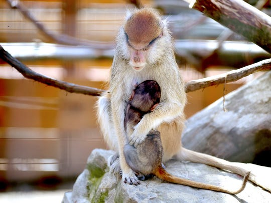 A baby Patas monkey is held by his mother at Animal Adventure Park.