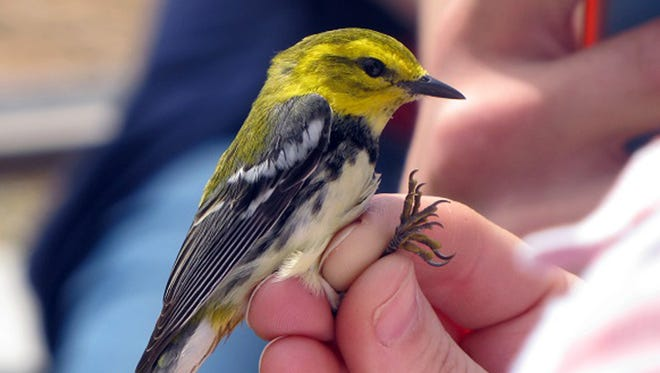 This Black-throated Green Warbler was caught in a mist net during a previous Horicon Marsh Bird Festival bird banding demonstration. Measurements were taken and a small band was placed on the leg in hopes that it will be caught again in future years to learn more about this species' biology.