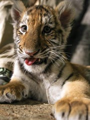 The Amur tiger cub Kashtan looks at a camera at the Milwaukee County Zoo in Milwaukee. Kashtan is being hand-raised by staff.