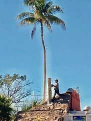 The historic palm is removed from Capri Produce, a